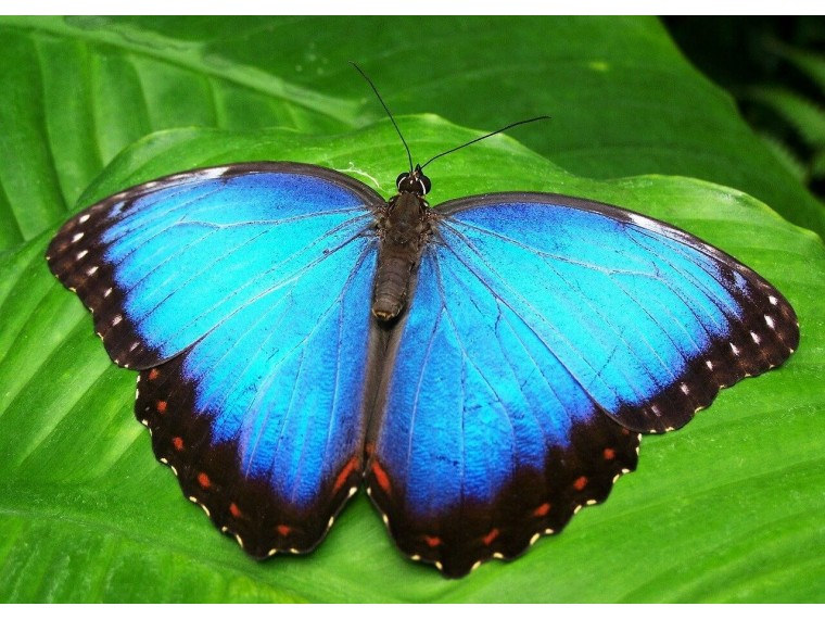 Бабочка Морфо Нимфалида