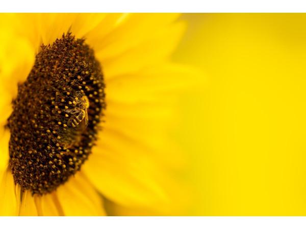 Пчела на подсолнухе